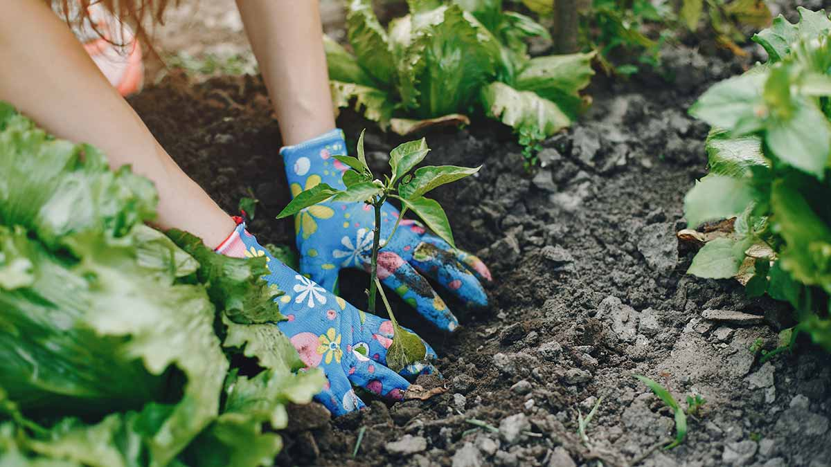 Woman gardening vegetables
